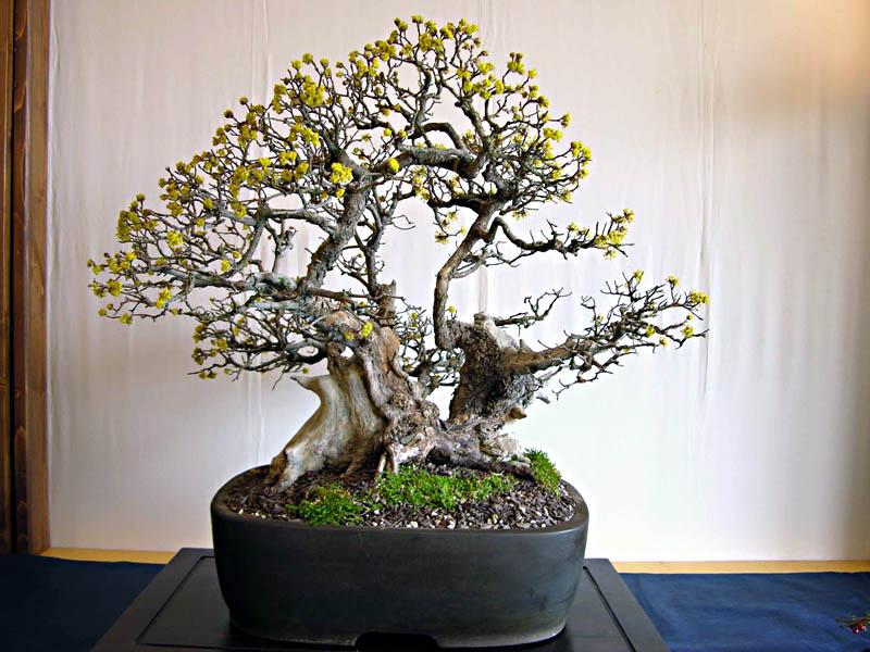 11 cornus mas corniolo armando dal col bonsai for Dove comprare bonsai