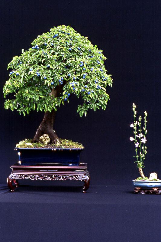 15 prunus spinosa prugnolo armando dal col bonsai for Dove comprare bonsai