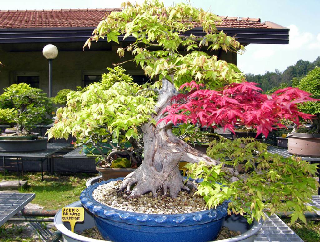 Acero palmato surprise 50 cm (2)