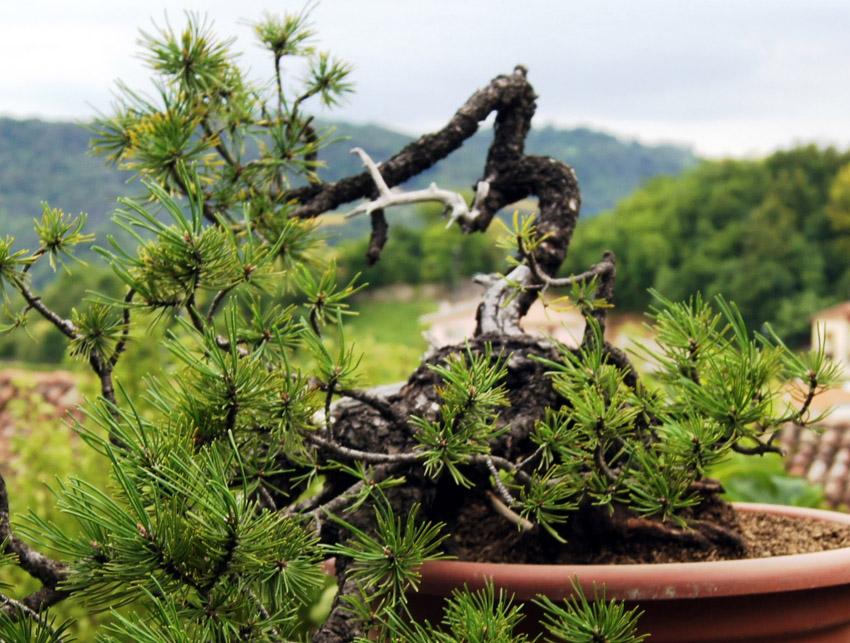 Pino mugo chiavi di lettura di una pianta armando dal for Bonsai pianta