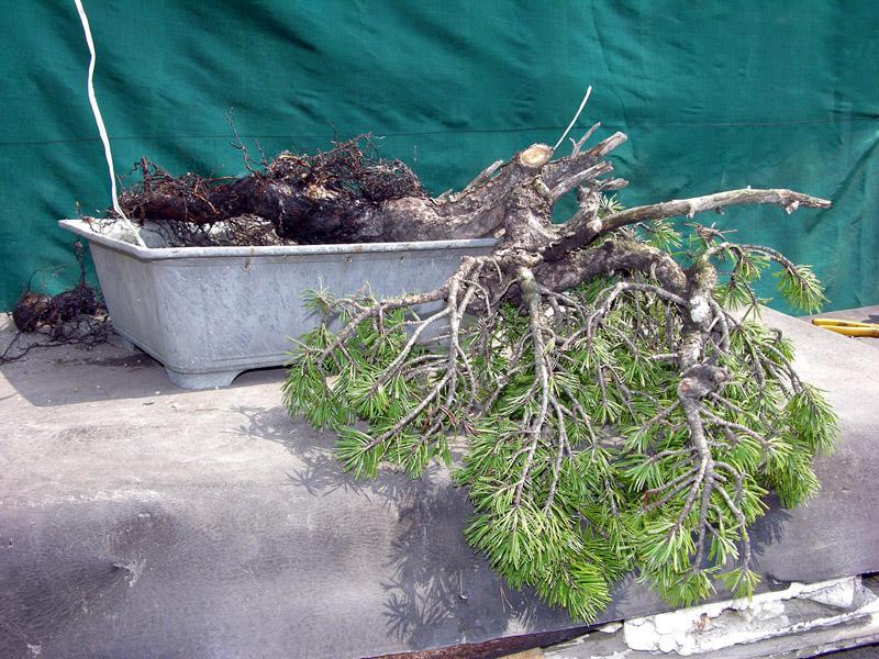 Separazione delle radici del pino mugo (16)