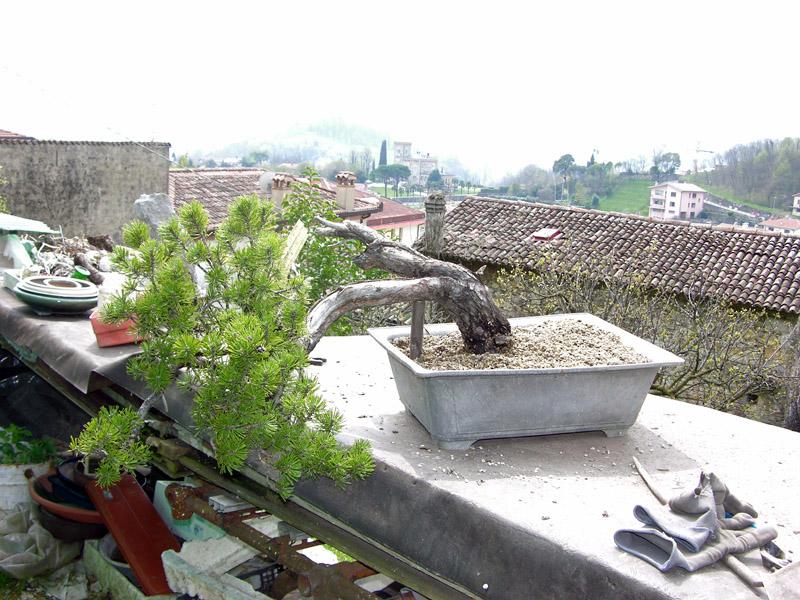 Separazione delle radici del pino mugo (17)