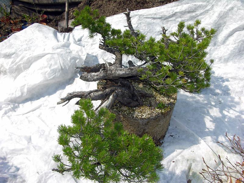 Separazione delle radici del pino mugo (2)
